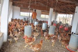 DSC 0245 270x179 - Agricultores do Cariri usam feno na alimentação de galinhas de capoeira