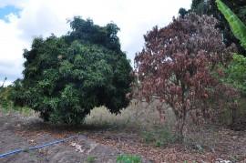 DSC 0571 Mangueira 270x179 - Técnicos da Emater orientam como combater doenças em fruteiras no litoral