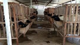 carcaça Confinamento 270x151 - Pesquisa da Emepa conclui que ovinos alimentados com palma forrageira têm ganho de peso
