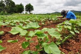 Algodão DSC 0417 270x179 - Governo garante assistência e produtores ampliam área com plantio de algodão