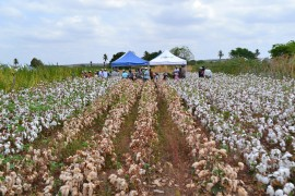 algodão2 02 03 ok 270x180 - Governo do Estado leva tecnologia do Algodão Paraíba à Colômbia