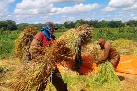 arroz vermelho portal 270x180 - Agricultores começam colheita do arroz vermelho no Vale do Piancó