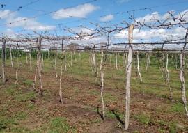 emater gerente sucesso irrigando uva em triunfo no sertao 4 270x191 - Agricultor aumenta renda irrigando uva no Sertão