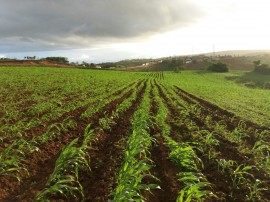 sorgo Emepa 04 05 270x202 - Governo cultiva sorgo para ração do rebanho da Emepa