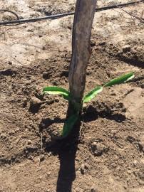 Pitaya2 202x270 - Famílias de Várzea cultivam pitaya e hortaliças com energia solar
