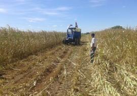 agricultores armazena silagem para alimentar rebanho 6 270x191 - Agricultores armazenam forragem para alimentar rebanho em período de estiagem
