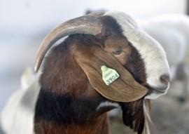 exposicao de animais caprinocultura raca boer 7 270x191 - Expofeira Paraíba Agronegócios: Aberta Exposição Nacional da raça Boer