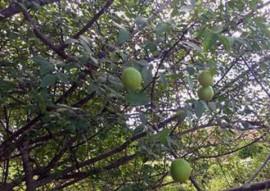 pesquisa e extensao se unem para cultivo de umbu 111 270x191 - Pesquisa e extensão se unem para incentivar cultivo de umbu na Paraíba