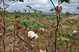 DSC 0480 270x179 - Agricultores visitam campo de algodão orgânico e decidem iniciar plantio