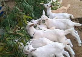 foto projeto sudene 270x189 - Pequenos produtores de nove municípios são contemplados com genética caprina da Emepa