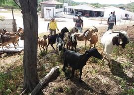 procase entrega animais a produtores do curimatau paraibano (3)c