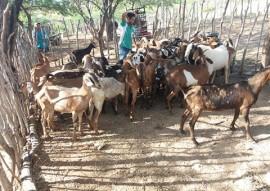 procase entrega animais a produtores do curimatau paraibano9 270x191 - Procase entrega animais a produtores do Curimataú paraibano