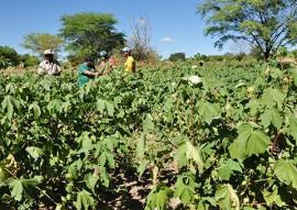 trinta anos depois agricultor volta a cultivar agroecologico 1 270x191 - Algodão Paraíba: Agricultor volta a cultivar agroecológico 30 anos depois