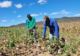 trinta anos depois agricultor volta a cultivar agroecologico 4 270x191 - Algodão Paraíba: Agricultor volta a cultivar agroecológico 30 anos depois